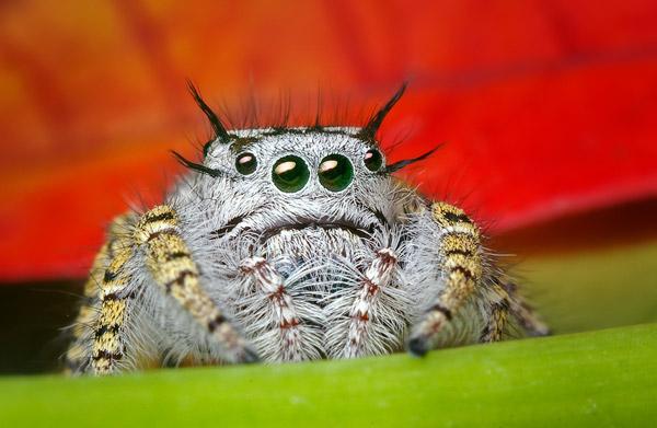 eye-macros-jumping-spider2