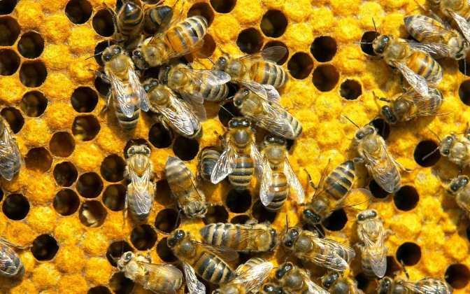 Honeycomb_bees