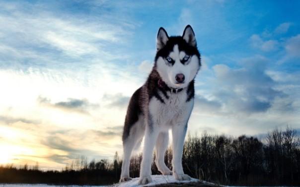 Siberian-Husky-640x400