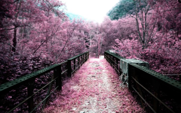 cherry_blossoms_on_a_bridge_hd_wallpaper
