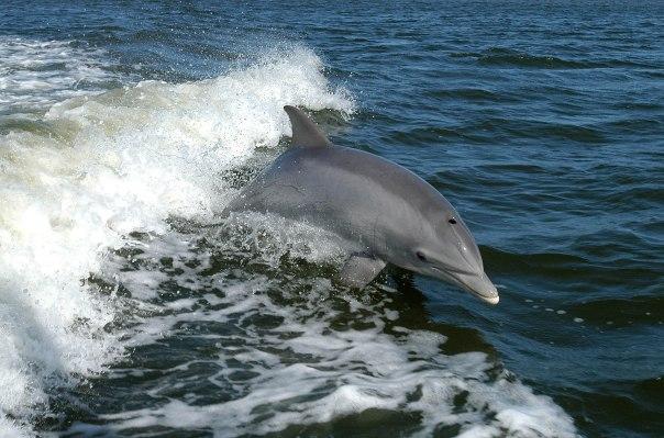 Bottlenose_Dolphin_KSC04pd0178