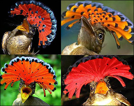crazy-royal-flycatchers
