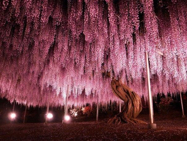 oldest-wisteria-tree-ashikaga-japan-1