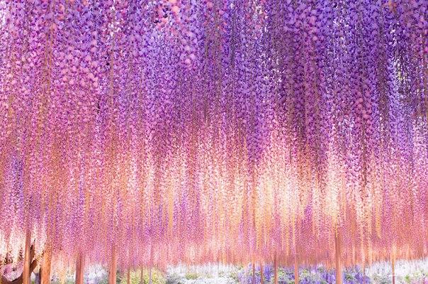 oldest-wisteria-tree-ashikaga-japan-3