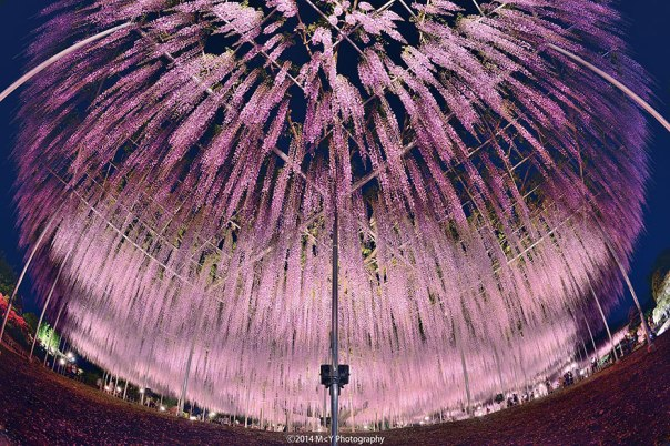 oldest-wisteria-tree-ashikaga-japan-4
