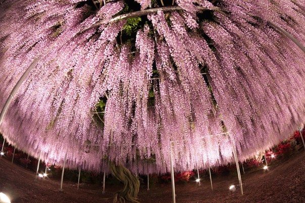 oldest-wisteria-tree-ashikaga-japan-9