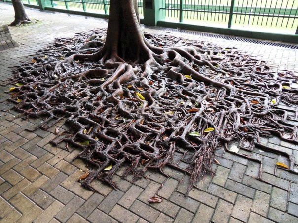 tree-roots-concrete-pavement-1