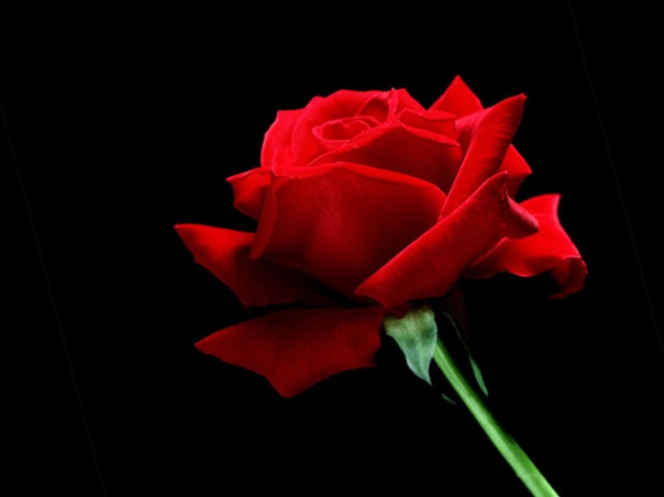 A-Single-Red-Rose-Desktop-Wallpaper33