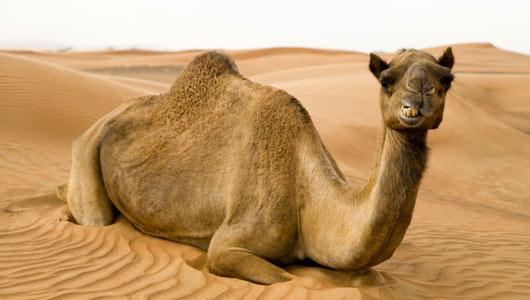 az_camel