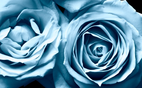 blue-roses-81780