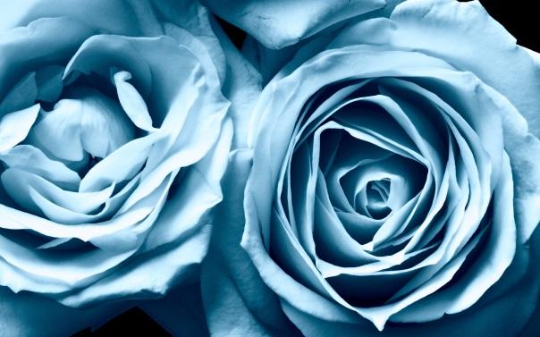 blue-roses-81780