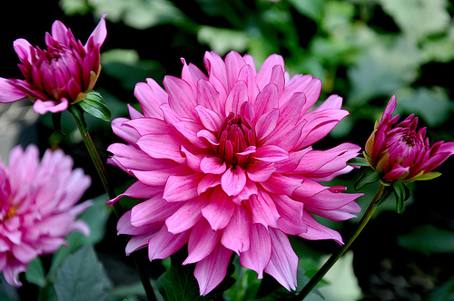 Dahlia Flower Information Dahlia-flower-pic