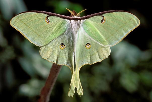 luna-moth--actias-luna-phil-degginger