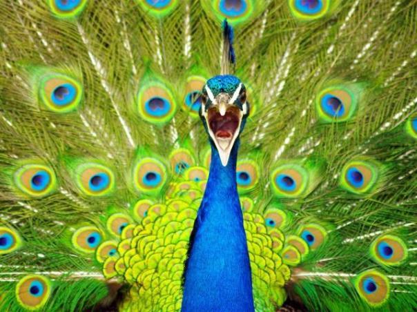 peacock_new_zealand_10933_990x742_w640