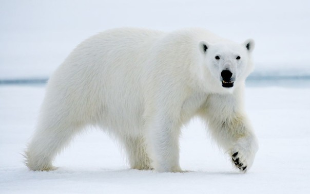 polar-bear-walking_2443200k