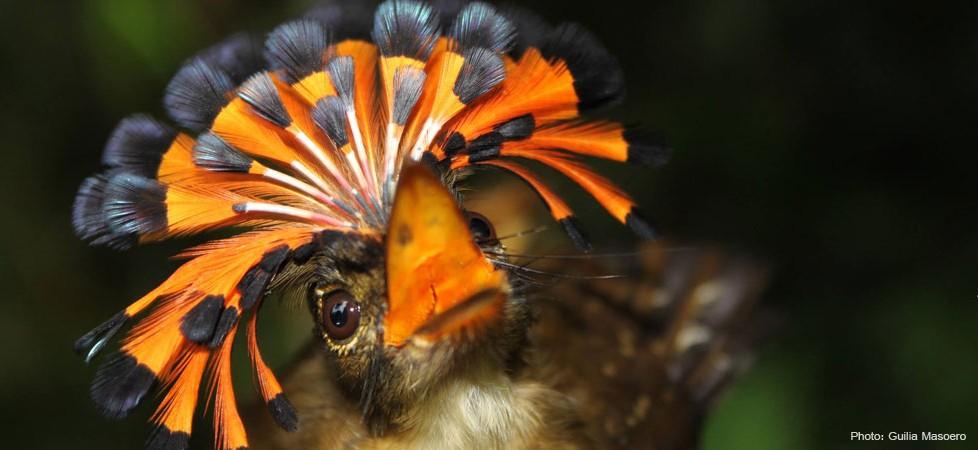 Subhana Llah Amazonian Royal Flycatcher Images Pass