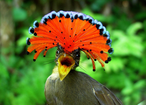 Royal-Flycatcher.-photo-animals-library.blogspot-2
