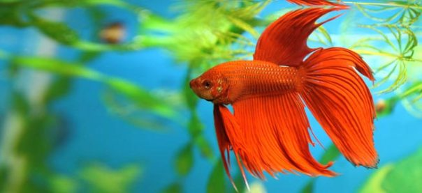 siamese-fighting-fish-01