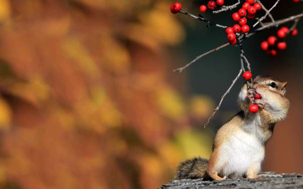 cute-chipmunk-berries
