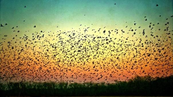 gty_flock_crows_sunset_thg_120127_wg