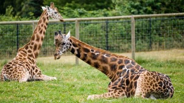 web-bc-zoo-giraffe05