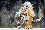 Tiger in snow (SubhanAllah)