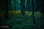 L-fireflies-smoky-mountains-forest-20130611_1082
